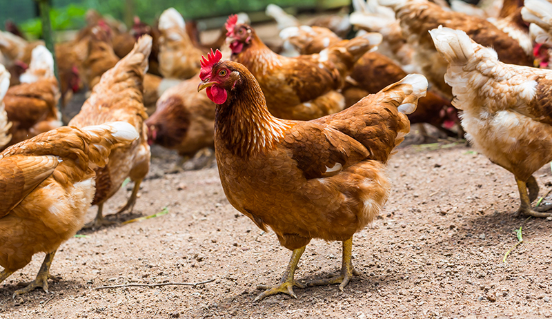 The Ultimate Guide To Starting a Poultry Business in Nigeria