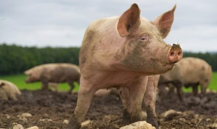 Piggery Farming in Nigeria