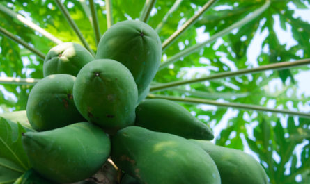 health benefits of unripe pawpaw