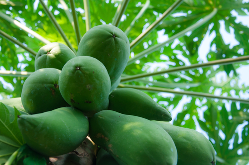 Health Benefits of Unripe Pawpaw – Raw papaya soaked in water