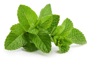 Scent leaf and ovulation, menstruation and fertility